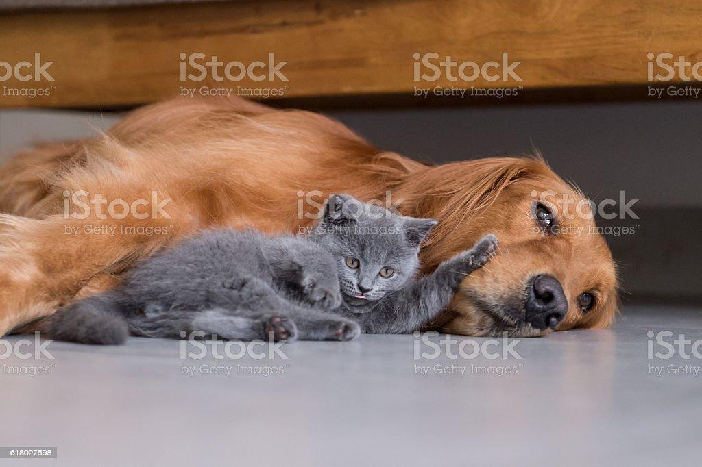 Golden retrievers and shorthair kitten - foto de acervo