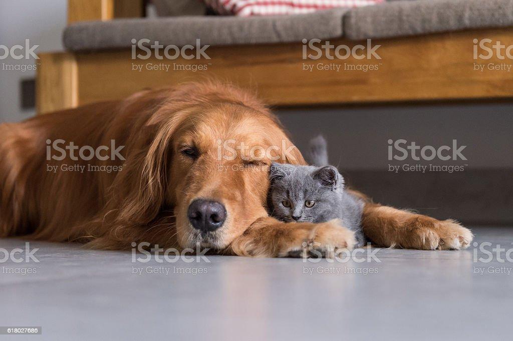 Golden retrievers and shorthair kitten foto royalty-free