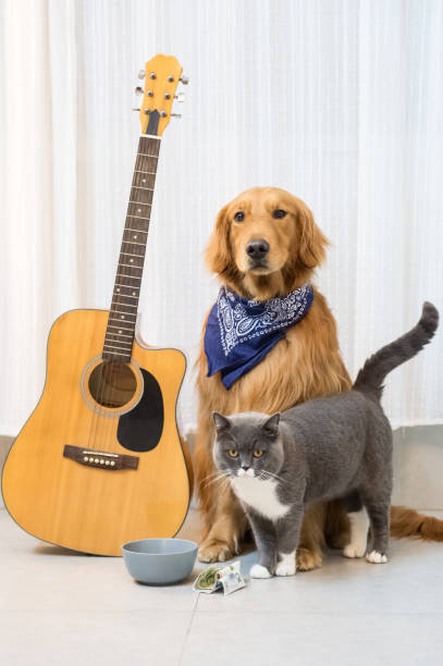 Golden Retrievers, British Shorthair et guitare - Photo