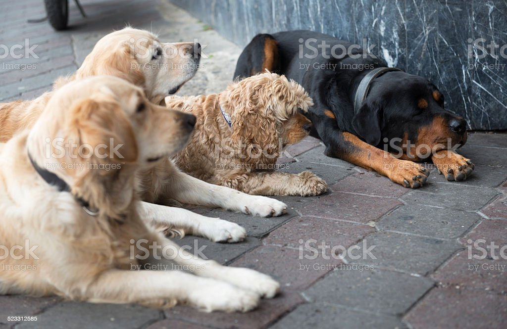 Golden Retrievers Rottweiler And Terrier Looking At Owner Istanbul