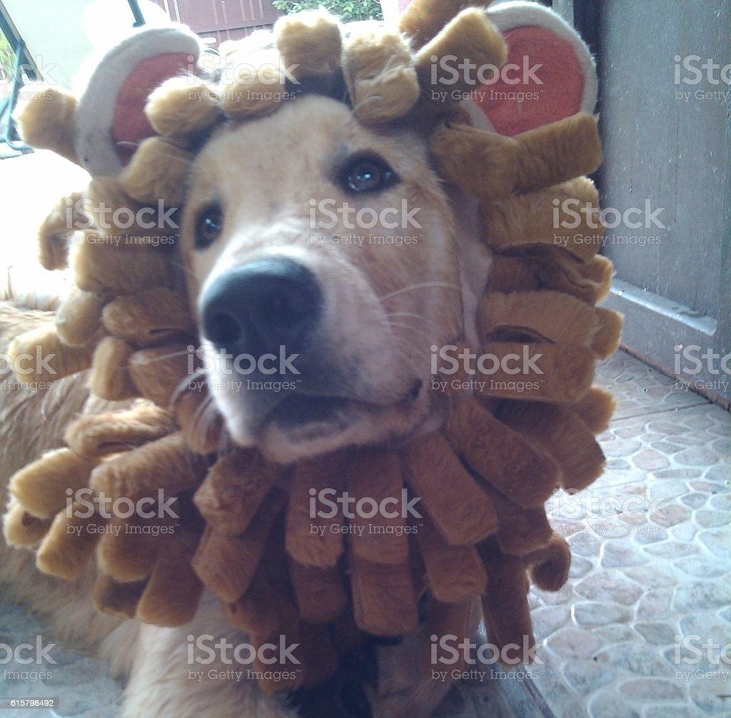 Golden retriver in lion costume stock photo