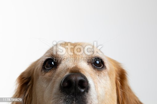 Golden retriever looking at camera.