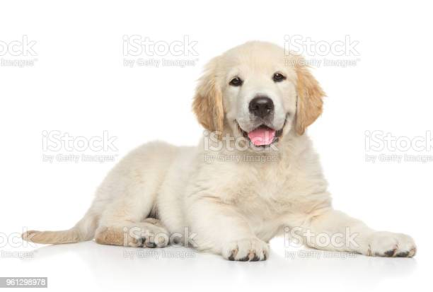 Golden retriver puppy on white background picture id961298978?b=1&k=6&m=961298978&s=612x612&h=qvkvkjy2vzjizmukgkr4v9b2ci zdkpu1a1lnsxjauq=