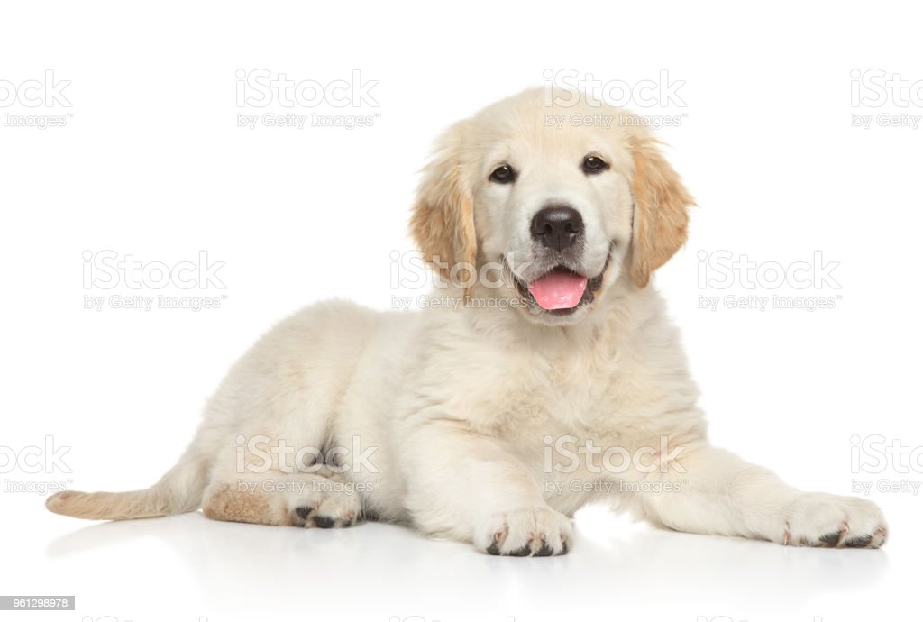 Golden Retriver puppy on white background stock photo