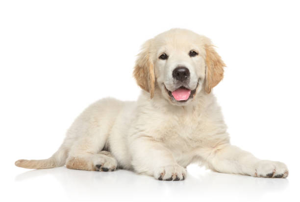 golden retriver puppy on white background - labrador retriever foto e immagini stock