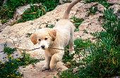 遊んで黄金ゴルフボールレトリバー子犬