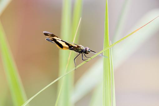 Golden Rhyothemis variegata dragonfly from Kerala, India