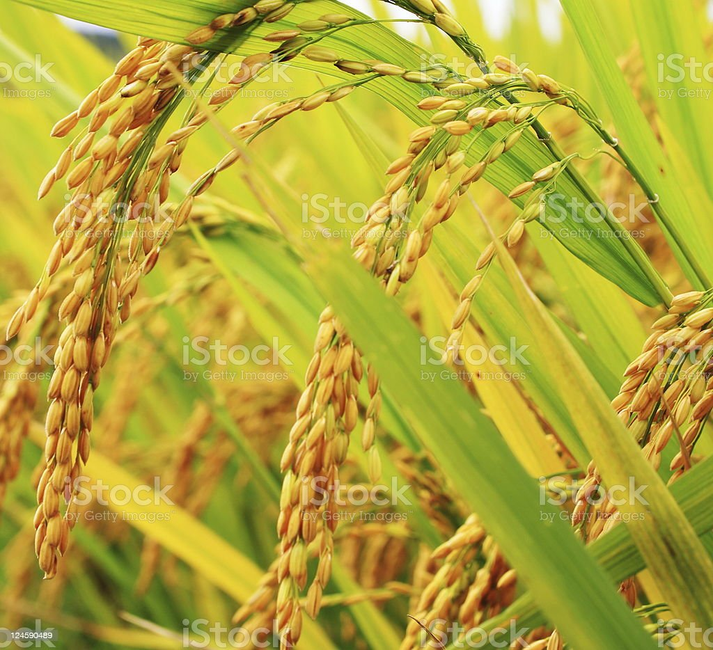 Golden rice in the farm royalty-free stock photo