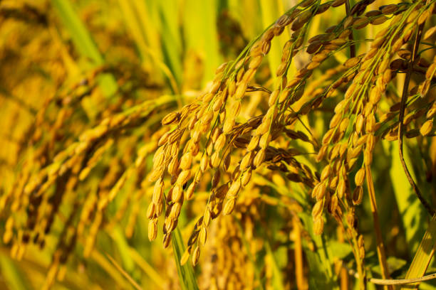 Golden rice paddy stock photo