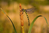 Golden ringed dragonfly, cordulegaster boltonii, resting on bulrush with copy space and blurred background. Animal of wetlands sitting in summer at sunset.