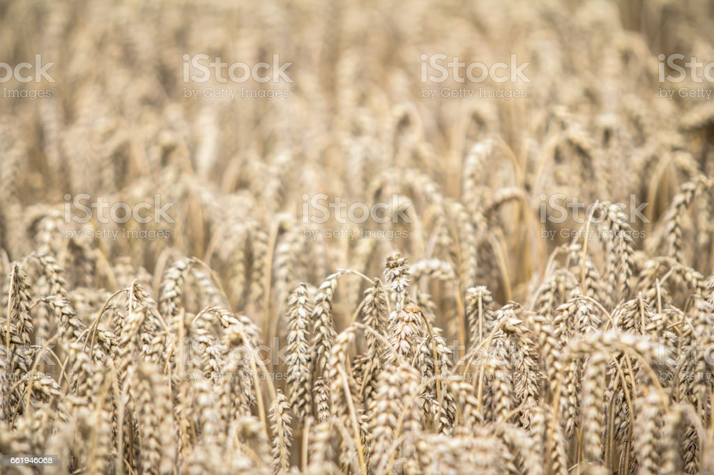 Golden ripe wheat field on sunny day royalty-free stock photo