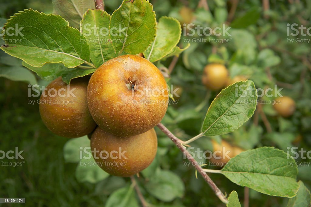 Golden Russet apples. royalty-free stock photo