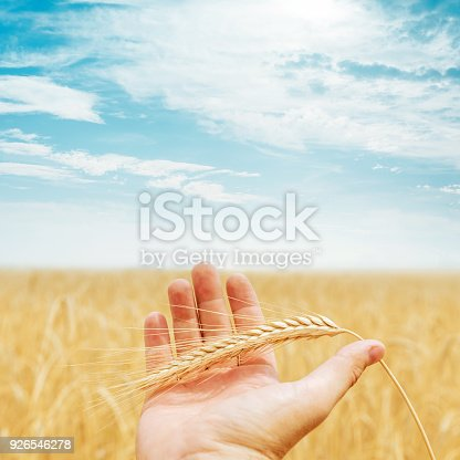 istock golden rye in the hand over field and sun in sky 926546278