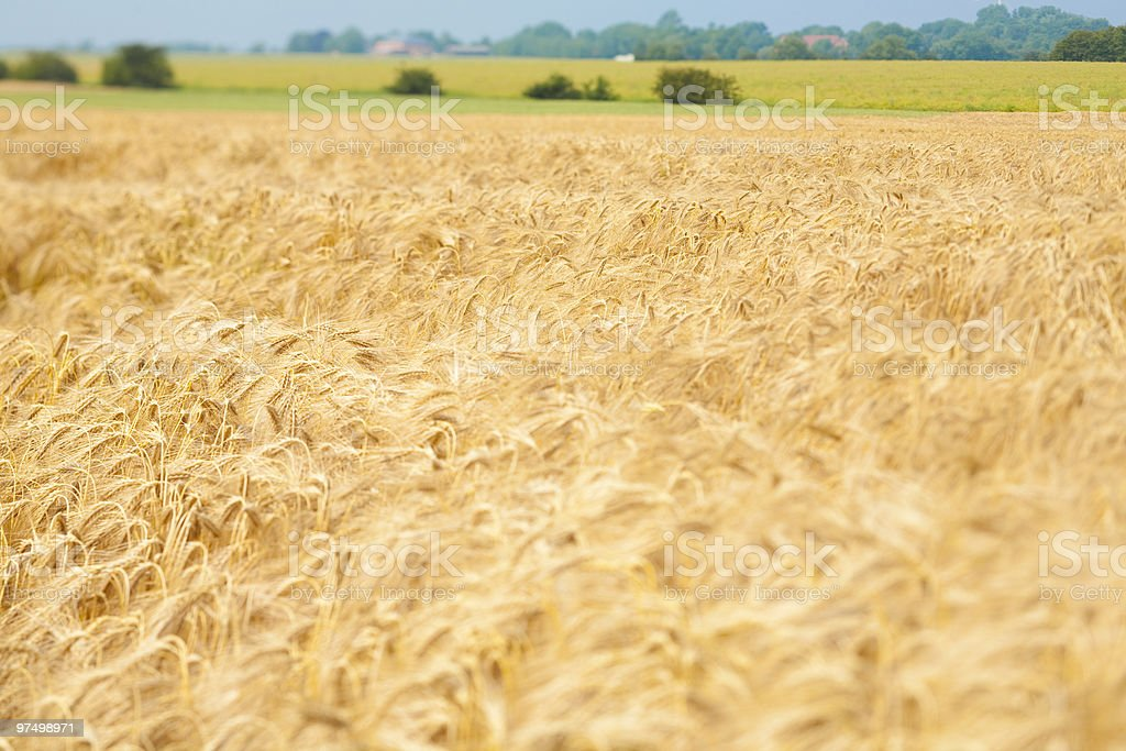 Golden rye royalty-free stock photo