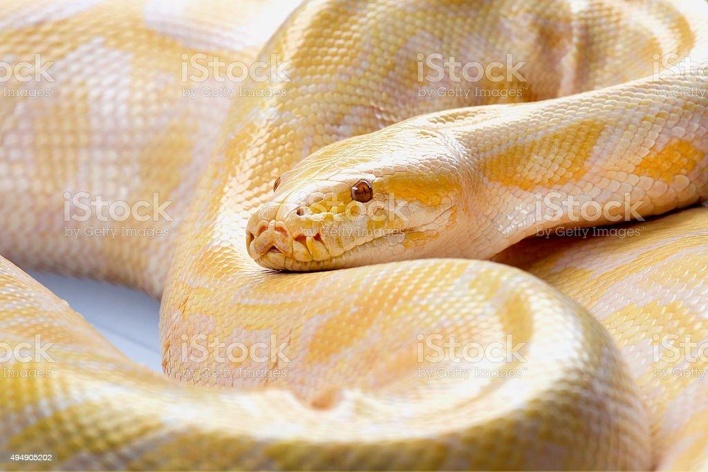 Golden Serpent stock photo