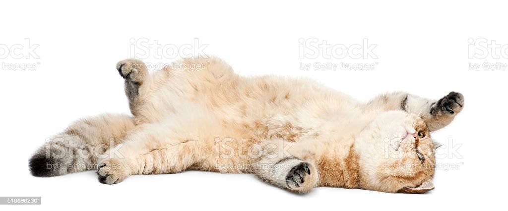 Golden shaded British shorthair, 7 months old, lying stock photo