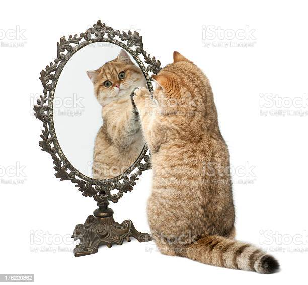 Golden shaded british shorthair playing with mirror picture id176220362?b=1&k=6&m=176220362&s=612x612&h=z4m kfeih2jue2 o8ebskcnk5egmyp3p10q7omalkwu=
