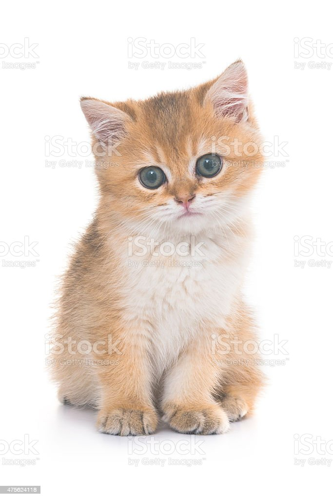 Golden Shaded Tabby British Shorthair Kitten Stock Photo - Download
