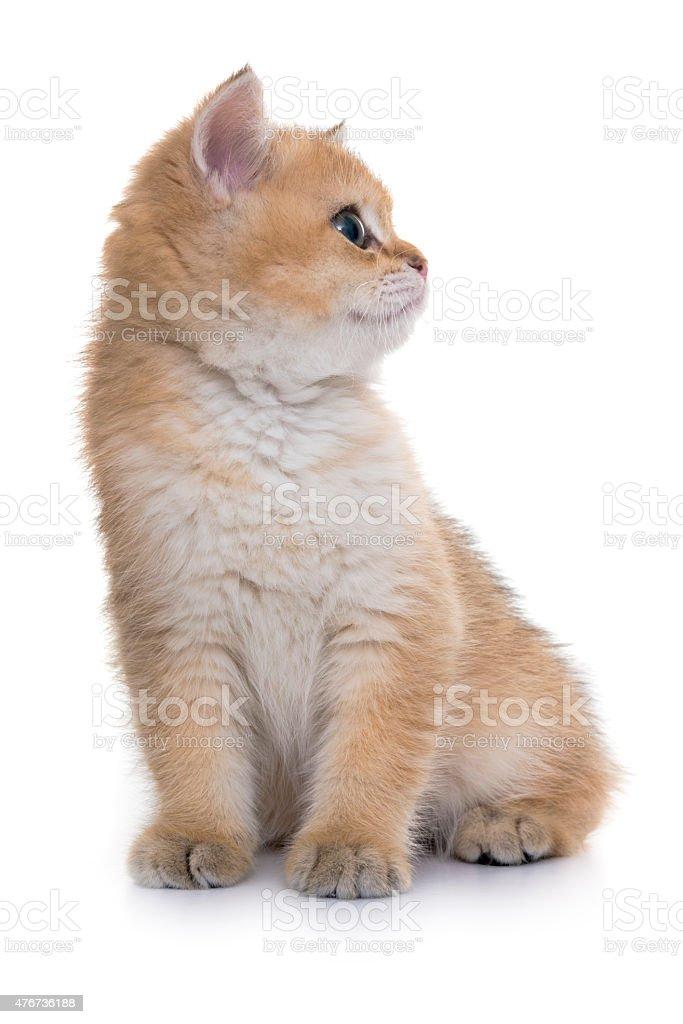 Złoty Cień Pręgowany Kot Brytyjski Shorthair Kociak Stockowe