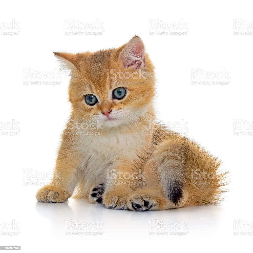 Golden shaded tabby kitten stock photo