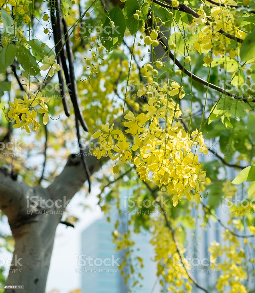 Golden shower flower tree, Cassia fistula in summer stock photo
