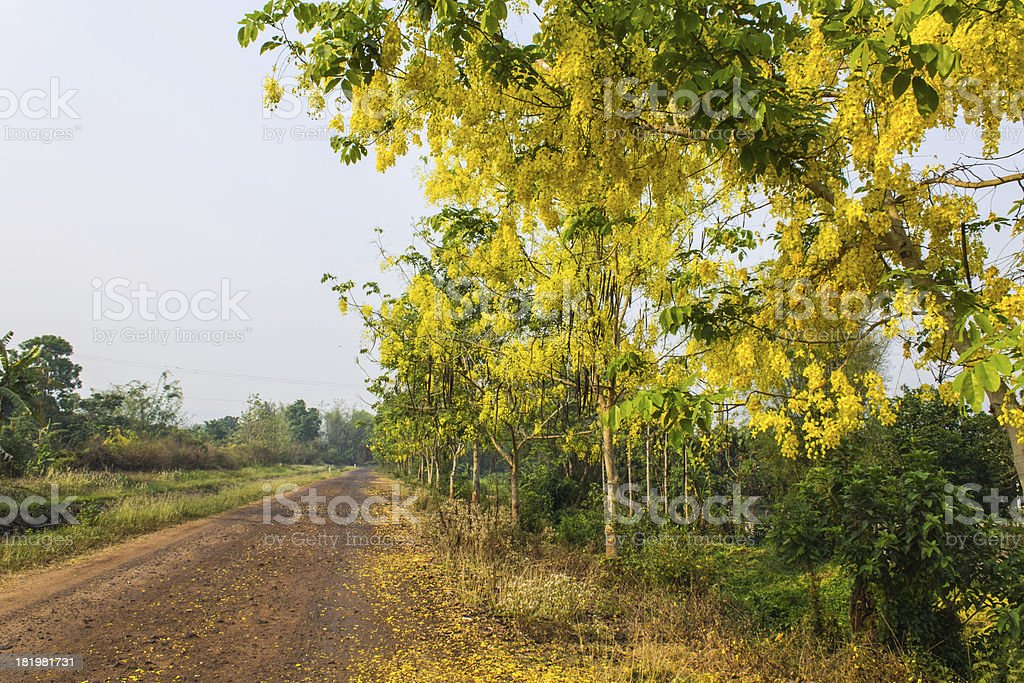 Golden shower flowers fell on the road stock photo