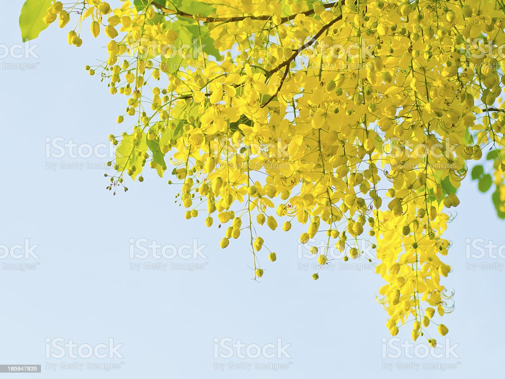 Golden shower stock photo