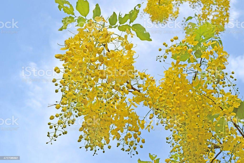 Golden shower tree, beautiful yellow flower name is Ratchaphruek stock photo