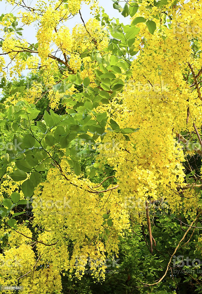 Golden shower tree or Cassia fistula tree stock photo