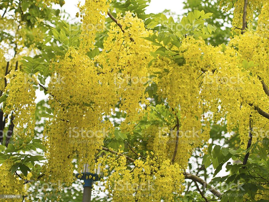 Golden Shower Tree, (Cassia Fistula) royalty-free stock photo
