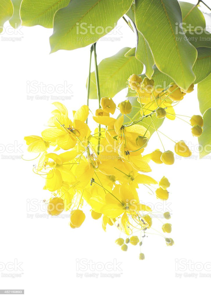 Golden shower tree (Cassia fistula) stock photo