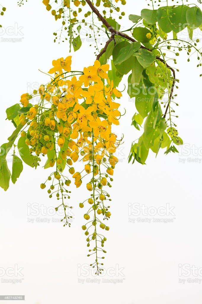 Golden shower tree with flowers blooming stock photo