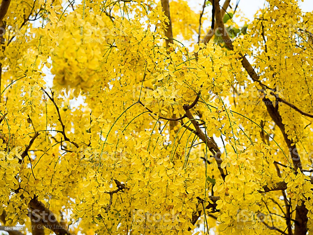 Golden Shower Tree yellow tropical plants. stock photo