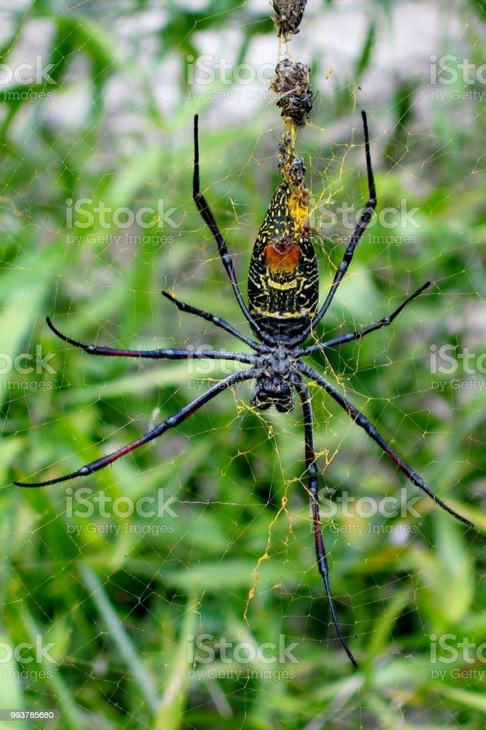 Aranhas do orb-tecelão de seda dourada - foto de acervo