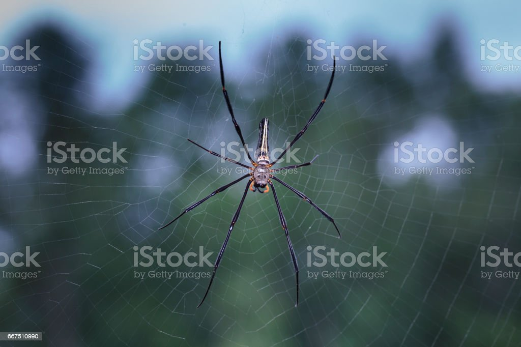 golden silk orb-weavers (Nephila clavipes ) spider male on a cobweb in the tropical forest in Viet Nam foto stock royalty-free