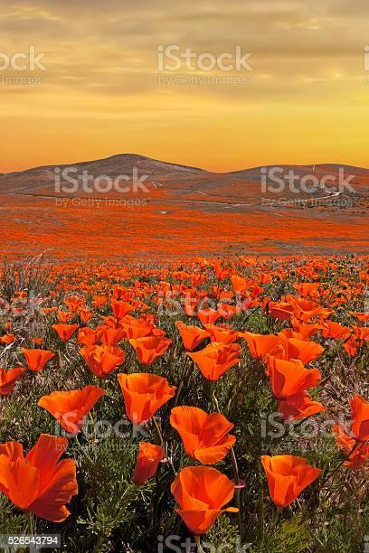 Golden skies over california poppies picture id526543794?b=1&k=6&m=526543794&s=612x612&h=jhfkyexlkctbxtsprsw lzhvj4sssez6yoh g9ekxri=