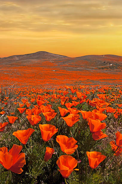 Golden Skies over California Poppies stock photo