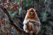 Golden snub-nosed monkey in the trees, Shanxi Province, China