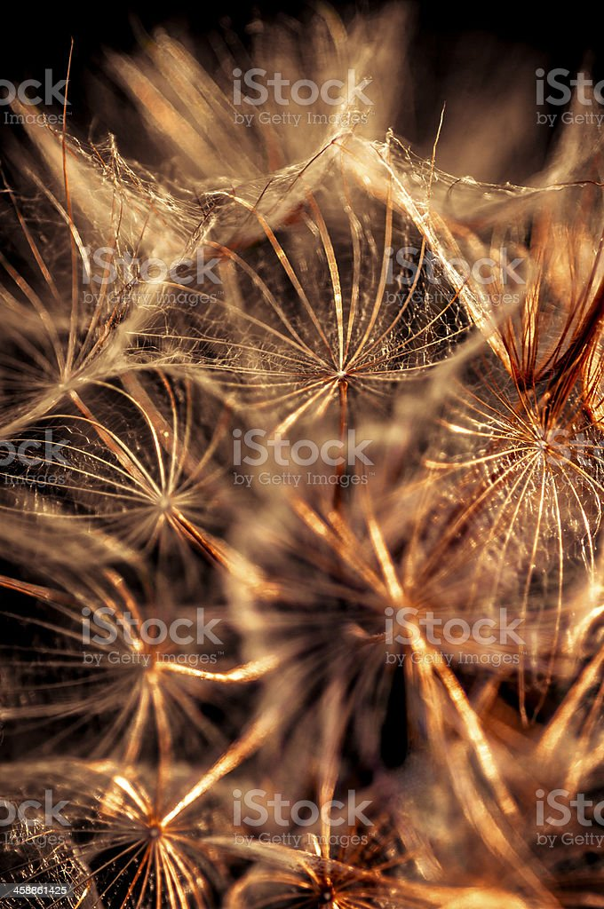 Golden sow-thistle royalty-free stock photo