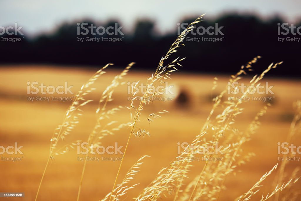 Golden spikelets against wheat-field stock photo
