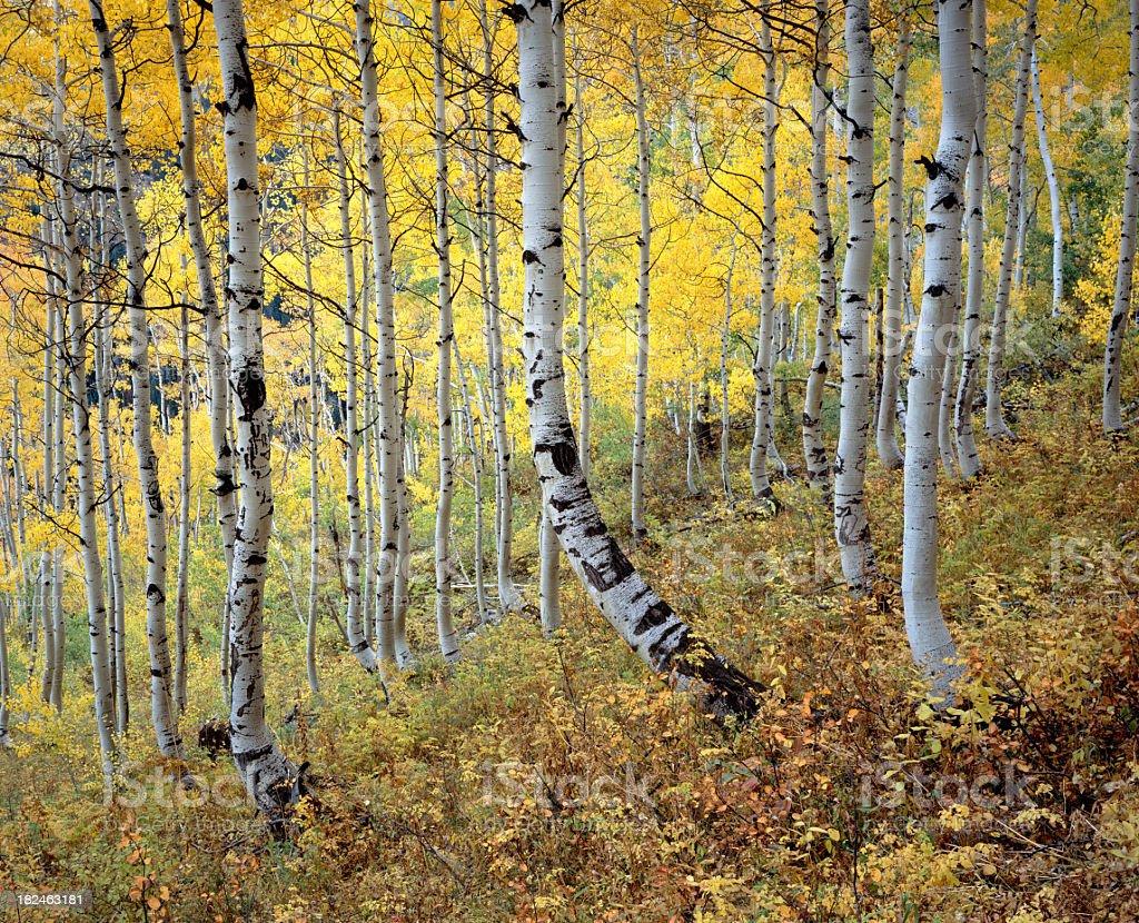 Golden Stand of Colorado Aspen royalty-free stock photo