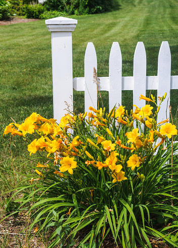 A group of bright yellow  Stella de Oro Daylily grows along a white picket fence on Cape Cod.