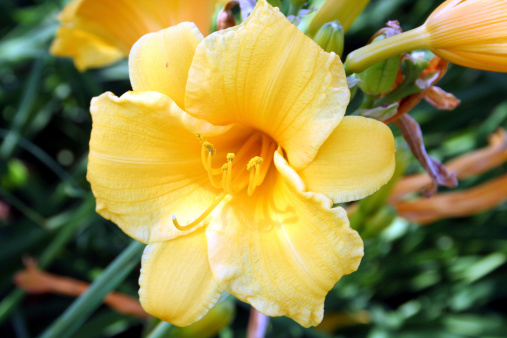 A close up of this daisy -- Stella De Oro