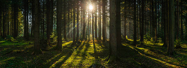 Golden sun beams streaming through idyllic wilderness pine forest picture id636753858?b=1&k=6&m=636753858&s=612x612&w=0&h=cqetz5khr8amc 7qirghvyzqbjgwqxp811wza5ro au=