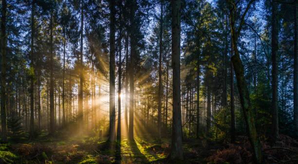 Golden sunbeams filtering through misty forest glade idyllic woodland panorama stock photo