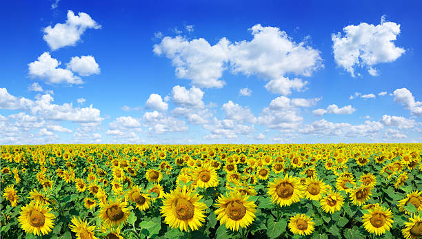 Golden sunflowers, the blue sky and white clouds (Panorama) stock photo