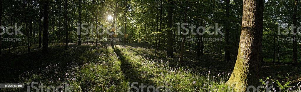 Golden sunrise in idyllic summer wildflower forest lush foliage panorama stock photo