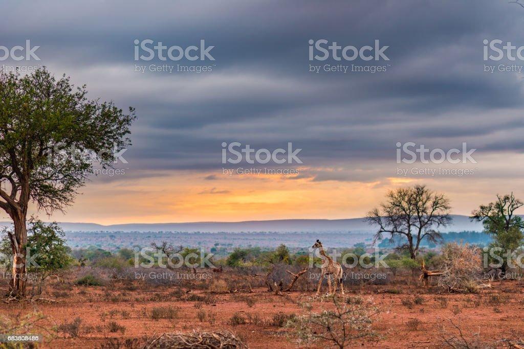 Golden Sunrise im afrikanischen Busch. – Foto