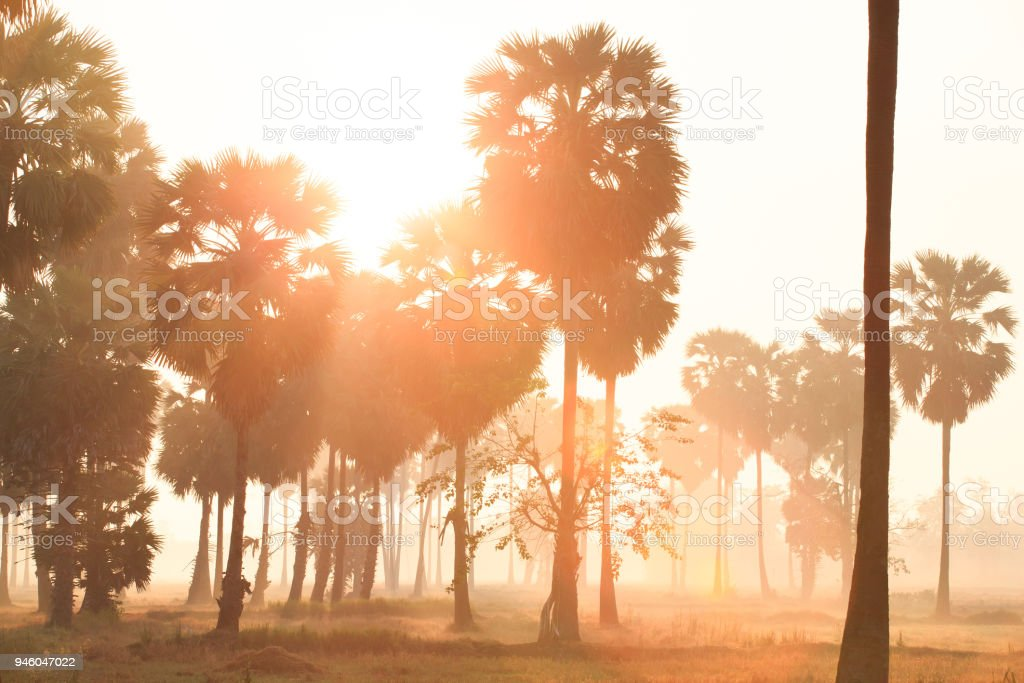Golden sunrise shines down around Asian Palmyra palms or Sugar palms on the rice field. stock photo