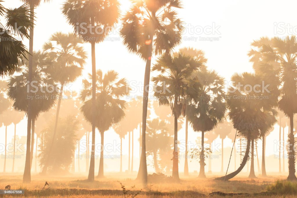 Golden sunrise shines down around Asian Palmyra palms or Sugar palms on the rice field stock photo